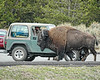 How big is a buffalo, about as big as a jeep.