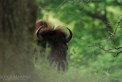 Buffalo sneaking up on me -- DSC-0126-1.