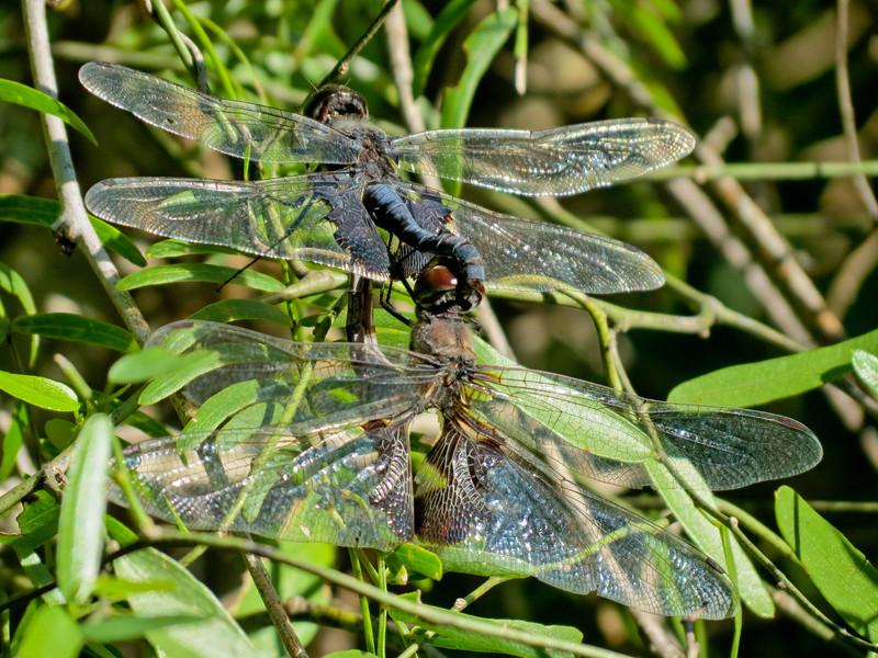 Black Saddlebags mating wheel. Sabal Palms Santuary, Brownsville TX