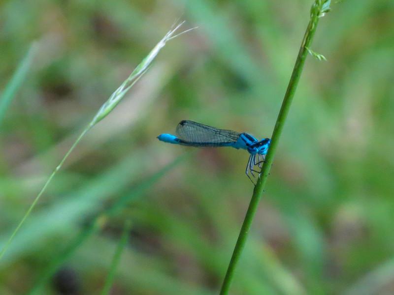 Azure Bluet, Pond #2, Rt. 9, Kennebunk ME