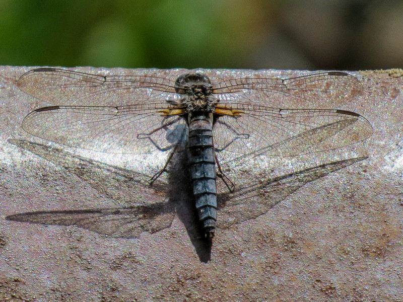 Blue Corporal, Cape May Big Day, NJ