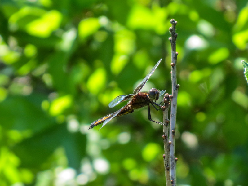 Widow Skimmer (Male), Kennebunk Bridle Path, Kennebunk ME