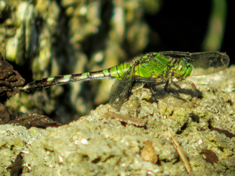 Great Pondhawk, Washington Oaks Garden's State Park, Marineland, FL