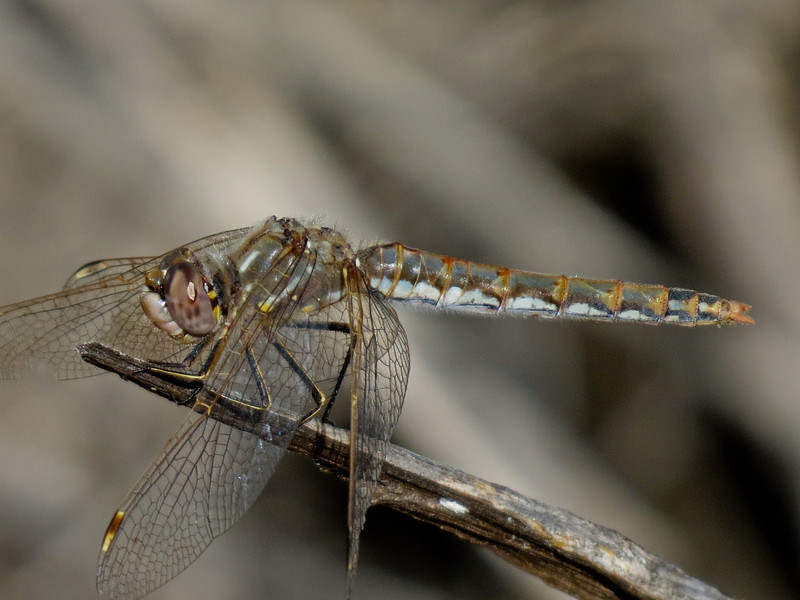 Female Varigated Meadowhawk, Bosque del Apache NWR, Socorro NM
