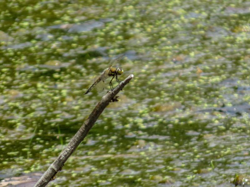 Four-spotted Skimmer, Kennebunk Bridle Path, Kennebunk ME