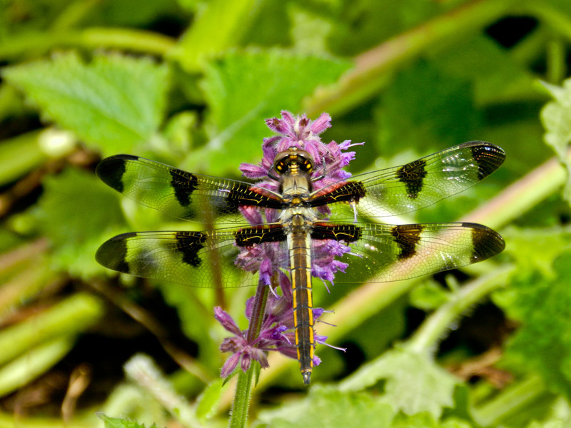 Twelve Spot Skimmer, Coastal Maine Botanical Garden, Boothbay ME