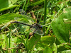Lily-pad Clubtail, Roger's Pond, Kennebunk ME