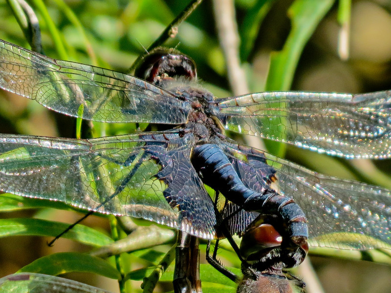 Black Saddlebags mating wheel. Sabal Palms Santuary, Brownsville TX