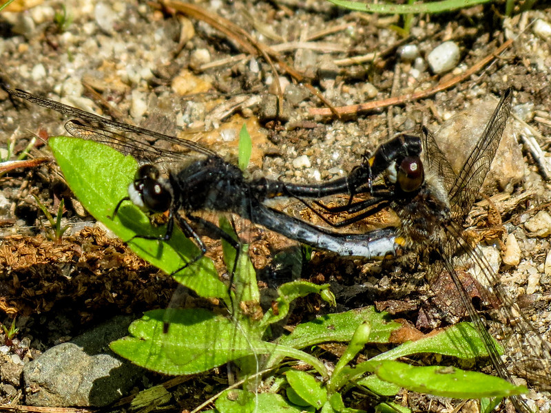 Dot-tailed Whiteface (mating wheel), Kennebunk Bridle Path, Kennebunk ME