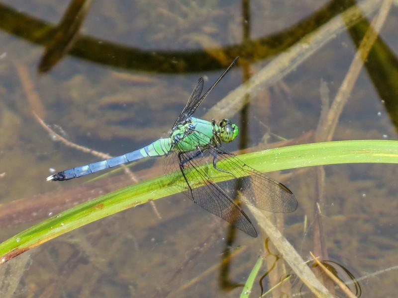 Eastern Pondhawk (M), Roger's Pond, Kennebunk ME