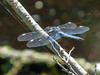 Spangled Skimmer, Kennebunk Bridle Path, Kennebunk ME