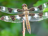 Twelve-spotted Skimmer, Kennebunk Bridle Path, Kennebunk ME