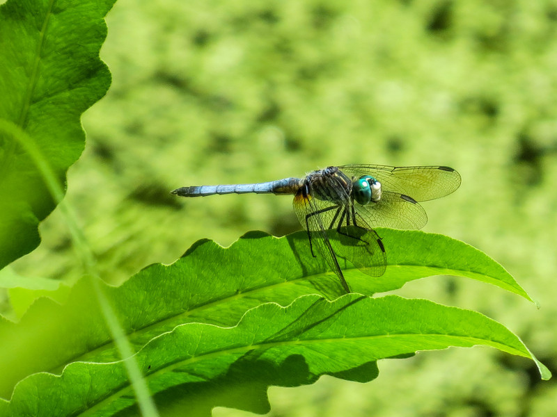 Blue Dasher, Coastal Maine Botanical Garden, Boothbay ME