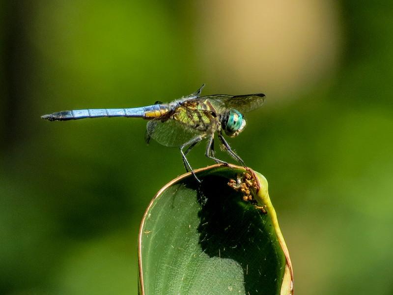 Blue Dasher, Washington Oaks Garden's State Park, Marineland, FL