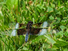 Widow Skimmer, Roger's Pond, Kennebunk ME