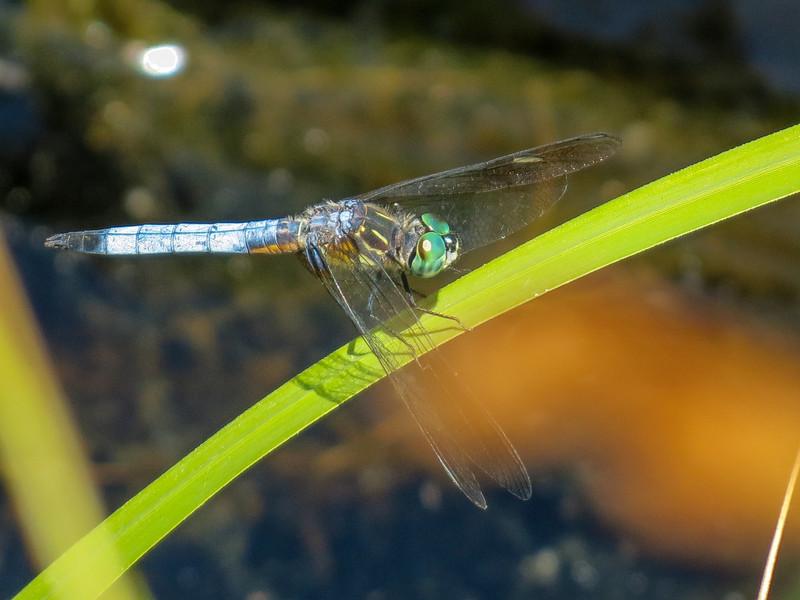 Blue Dasher, Pond #1, Rt. 9, Kennebunk ME