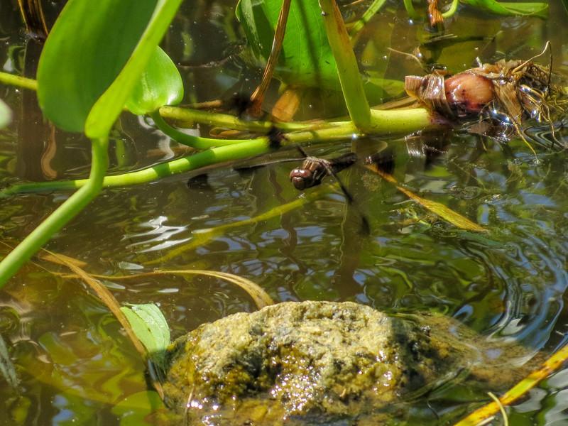 Fm Common Whitetail ovapositing, Roger's Pond, Kennebunk ME