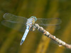Blue Dasher, Factory Pasture Pond, Kennebunk ME