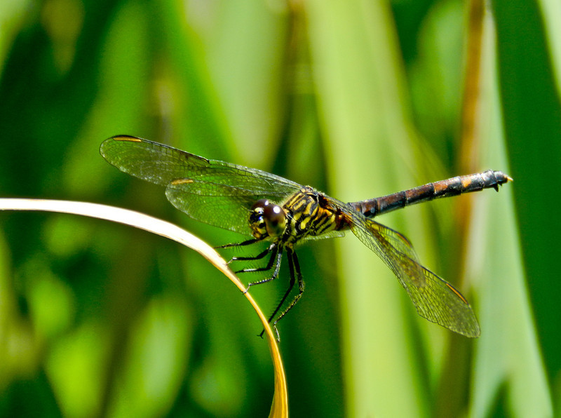 Female Seaside Dragonlet, Laudholm Farm, National Estuarine Research Center, Wells ME