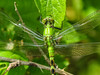 Eastern Pondhawk, Cape May Big Day, NJ