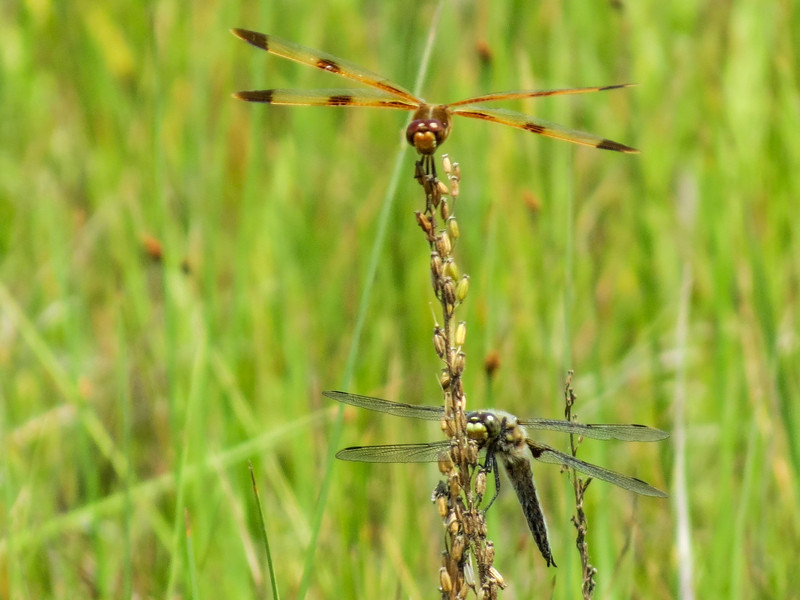 Painted and 4-spotted Skimmer, Kennebunk Bridle Path, Kennebunk ME