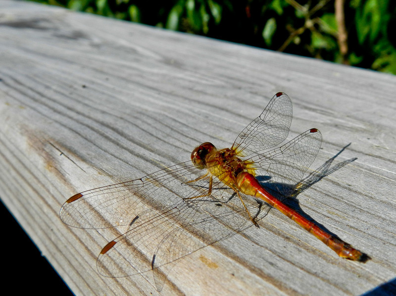 Dragonfly, Magee Marsh, OH