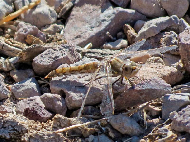 Varigated Meadowhawk, Bosque del Apache NWR, Socorro NM