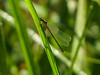 Citrine Forktail, Kennebunk Bridle Path, Kennebunk ME