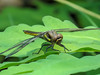 Fm. Twelve-spotted Skimmer, Factory Pasture Pond, Kennebunk ME
