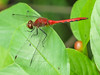 White-faced Meadowhawk, Factory to Pasture Pond, Kennebunk ME