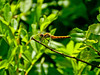 Meadowhawk sp, Kennebunk Bridle Path, Kennebunk ME