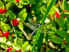 Seaside Dragonlet ?, Kennebunk Bridle Path, Kennebunk ME