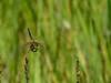 Four-spotted Skimmer, Kennebunk Birdle Path, Kennebunk ME