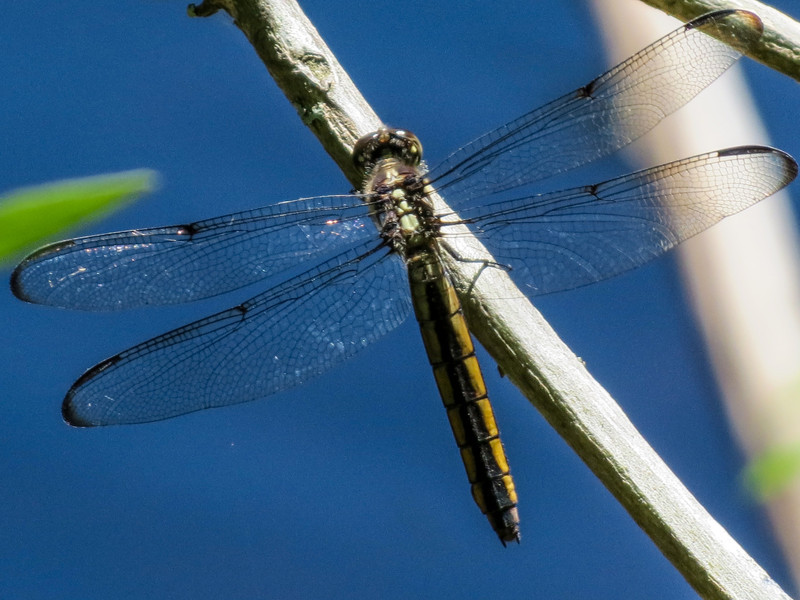 Slaty Skimmer, Kennebunk Bridle Path, Kennebunk ME