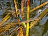 Green Darner Dragonfly, San Joaquin Wildlife Sanctuary, Irvine CA