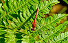 Ruby Meadowhawk, Kennebunk Bridle Path, Kennebunk ME