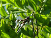 Twelve-spotted Skimmer, Kennebunk Bridle Path, Kenenbunk ME