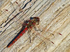 Varigated Meadowhawk, Arroyo Colorado World Birding Center, Harlingen TX