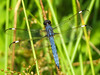 Spangled Skimmer (M), Factory to Pasture Pond, Kennebunk ME