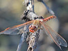 Varigated Meadowhawk, Bosque del Apache NWR, Socorro NM