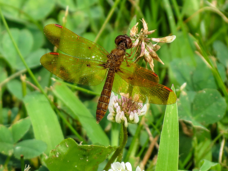 Eastern Amberwing, Roger's Paond, Kennebunk ME