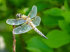 Four-spotted Skimmer, Kennebunk Bridle Path, Kennebuni ME