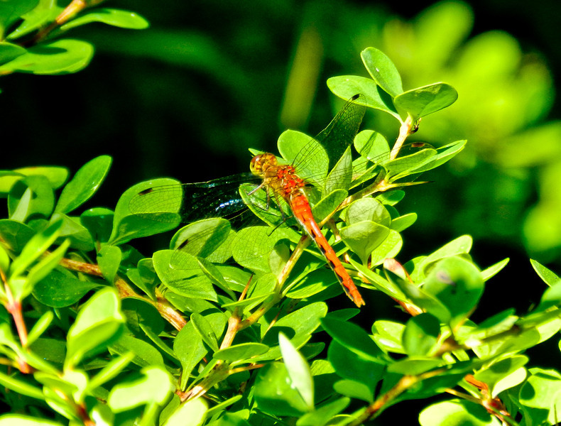 Autumn Meadowhawk, Laudholm Farm, National Estuarine Research Center, Wells ME