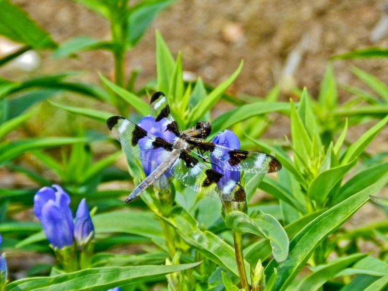 Twelve Spot Skimmer, Coastal Maine Botanical Garden, Boothbay ME