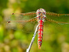 Variegated Meadowhawk, San Joaquin Wildlife Sanctuary, Irvine CA