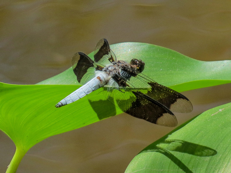 Common Whitetail, Roger's Pond, Kennebunk ME