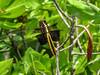 Widow Skimmer (female), Kennebunk Bridle Path, Kennebunk ME