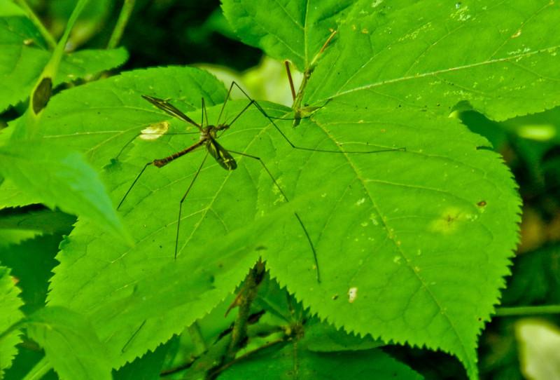 Crane Fly, Emmons Preserve, Kennebunkport, ME