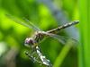 Blue Dasher (fm), Kennebunk Bridle Path, Kennebunk ME