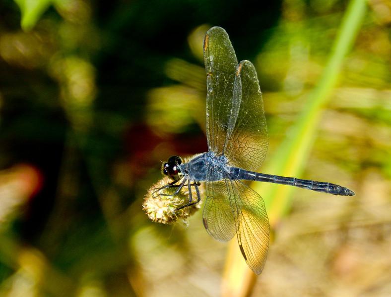 Seaside Dragonlet, Laudholm Farm, National Estuarine Research Center, Wells ME